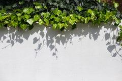 Ajardinar urbano com a hera verde que arrasta abaixo da parede Imagens de Stock Royalty Free