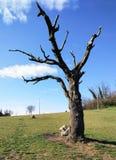 Ajardine a árvore de cereja inoperante do primeiro andar com céu azul ilustração royalty free