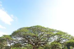 Ajardine a árvore grande Fotografia de Stock