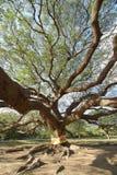 Ajardine a árvore grande Foto de Stock Royalty Free