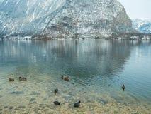 Ajardine a cisne do lago, pássaro Hallstatt do pato na montanha da neve da estação do inverno de Áustria Fotografia de Stock Royalty Free