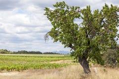 Ajardine com árvore e vinhedos na área do vinho de Penedes Imagens de Stock Royalty Free