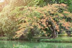 ajardine com árvore grande e florescência com flor vermelha (Flam-boyan Fotografia de Stock