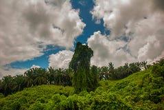 Ajardine com a árvore incomum no fundo do céu com nuvens Malásia, Bornéu, Sabah Imagens de Stock Royalty Free