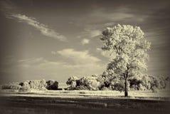 ajardine com árvore infravermelha, árvore velha do sepia Foto de Stock