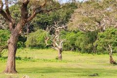 Ajardine com a árvore inoperante seca no parque nacional de Yala Foto de Stock
