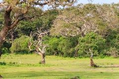 Ajardine com a árvore inoperante seca no parque nacional de Yala Imagens de Stock