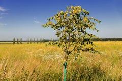 Ajardine com árvore nova, o prado dourado e a aleia Imagens de Stock