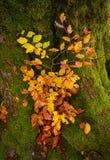 Ajardine com a árvore velha forte da floresta do outono Árvore bonita do outono Fotografia de Stock Royalty Free