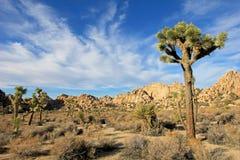 Ajardine com árvores de joshua, Joshua Tree National Park, EUA Imagem de Stock Royalty Free