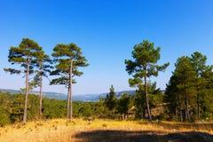 Ajardine com árvores de pinho Foto de Stock Royalty Free