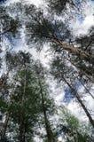 Ajardine com árvores de pinho Imagem de Stock