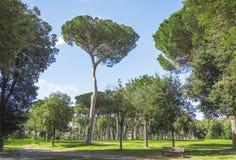 Ajardine com árvores de pinho Imagem de Stock Royalty Free