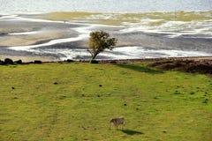 Ajardine com árvores e molhe com a vaca no primeiro plano Fotografia de Stock