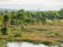 Ajardine com árvores, a pastagem verde e as duas vacas Fotografia de Stock Royalty Free