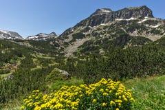Ajardine com as flores da mola e pico amarelos de Dzhangal, montanha de Pirin Imagem de Stock