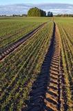 Ajardine com as trilhas do trator através do campo de trigo no outono Fotos de Stock Royalty Free