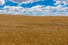 Ajardine com céu azul, as nuvens brancas e campos de trigo maduros Foto de Stock