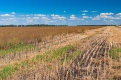 Ajardine com céu azul e o campo maduro da colza situados em Ucrânia central Imagem de Stock Royalty Free