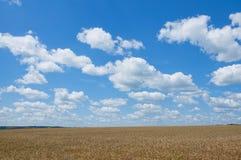Ajardine com céu azul, nuvens e campo de trigo Fotografia de Stock Royalty Free