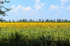 Ajardine com campo amarelo de girassóis de florescência no dia de verão Fotografia de Stock Royalty Free