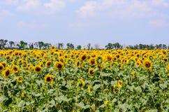 Ajardine com campo amarelo de girassóis de florescência no dia de verão Fotos de Stock