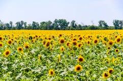 Ajardine com campo amarelo de girassóis de florescência no dia de verão Fotografia de Stock