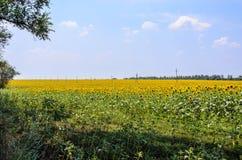 Ajardine com campo amarelo de girassóis de florescência no dia de verão Fotos de Stock Royalty Free