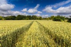 Ajardine com campo de trigo com céu azul Fotografia de Stock Royalty Free