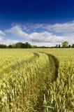 Ajardine com campo de trigo com céu azul Foto de Stock