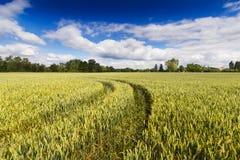 Ajardine com campo de trigo com céu azul Imagem de Stock