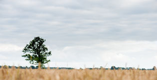 Ajardine com campo de trigo e árvore só e floresta no fundo Imagens de Stock Royalty Free