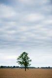 Ajardine com campo de trigo e árvore só e floresta no fundo Fotografia de Stock