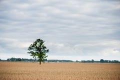 Ajardine com campo de trigo e árvore só e floresta no fundo Imagem de Stock