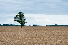 Ajardine com campo de trigo e árvore só e floresta no fundo Foto de Stock Royalty Free