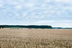 Ajardine com campo de trigo e floresta no fundo Imagem de Stock Royalty Free