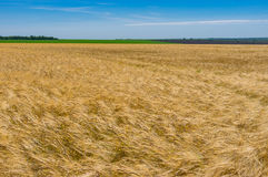 Ajardine com campo de trigo e o céu sem nuvens do céu azul em junho Foto de Stock