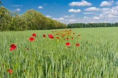 Ajardine com campo de trigo e a plantação selvagem de papoilas vermelhas para dentro Fotografia de Stock Royalty Free