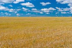 Ajardine com campo de trigo maduro em Ucrânia central Foto de Stock Royalty Free