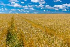 Ajardine com campo de trigo maduro em Ucrânia central Foto de Stock