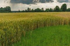 Ajardine com campo dramático do céu e de trigo na temporada de verão em Ucrânia central Fotos de Stock Royalty Free