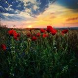 Ajardine com campos de florescência no verão, Dobrogea, Romênia Fotos de Stock