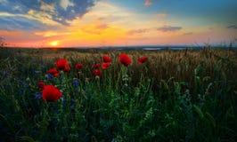 Ajardine com campos de florescência no verão, Dobrogea, Romênia Fotos de Stock Royalty Free