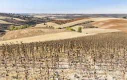 Ajardine com campos de trigo e os girassóis secos no outono no La Toba Fotografia de Stock Royalty Free