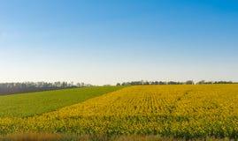 Ajardine com campos do girassol e o céu azul em Ucrânia central Fotografia de Stock