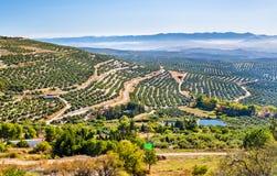 Ajardine com campos verde-oliva perto de Ubeda - Espanha Fotos de Stock