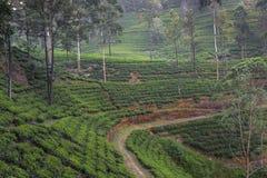 Ajardine com campos verdes do chá em Sri Lanka Foto de Stock