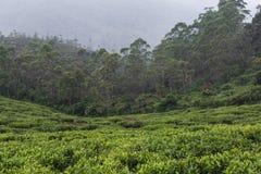 Ajardine com campos verdes do chá em Sri Lanka Imagens de Stock