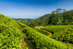 Ajardine com campos verdes do chá em Sri Lanka Imagem de Stock