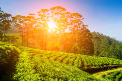 Ajardine com campos verdes do chá em Sri Lanka Imagens de Stock Royalty Free